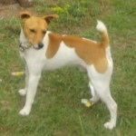 Perro Jack Russell Terrier mailo