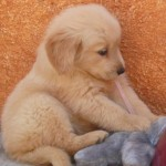 Perro Golden Retriever Camila
