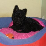 Perro Scottish Terrier Tyra