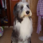 Perro Bearded Collie Max