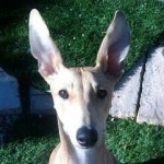 Perro Greyhound Minnie