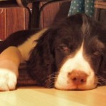 Perro English Springer Spaniel LukeSkywalker