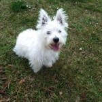 Perro West Highland White Terrier rexon