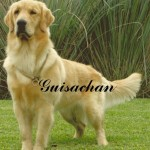 Perro Golden Retriever Ona