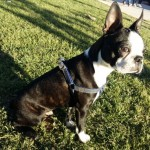 Perro Boston Terrier ANGUS