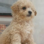 Perro Caniche Toy Lucky