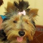 Perro Yorkshire Terrier Barby