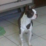 Perro Boston Terrier tiburon