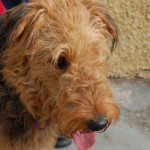 Perro Airedale Terrier Maty