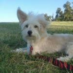 Perro West Highland White Terrier vitto