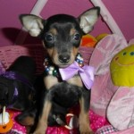 TORMENTA de My Loving Puppies - Cachorro en venta de My Loving Puppies