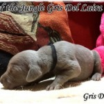 Mowgli of the Jungle - Cachorro en venta de Gris del Luira