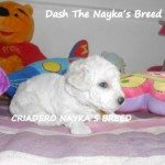 Dash The Nayka´s Breed - Cachorro en venta de Nayka's Breed
