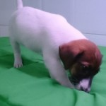 Cachorro de Jack Russell Terrier: JACK RUSSELL 78 - Aquanatura (Barcelona)