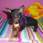 TUXON de My Loving Puppies - Cachorro en venta de My Loving Puppies