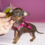 Chocolat Cup Cake de My Loving Puppies - Cachorro en venta de My Loving Puppies