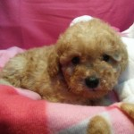Cachorro de Caniche Toy: Leon de My Loving Puppies