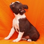 BOSTON TERRIER 31 - Aquanatura (Barcelona) - Cachorro en venta de AQUANATURA
