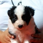 Cachorro de Border Collie: Hembra 2
