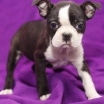 BOSTON TERRIER 29 - Aquanatura (Barcelona) - Cachorro en venta de AQUANATURA