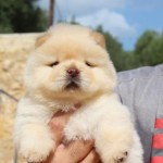 macho blanco - Cachorro en venta de Chows of the Island