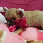 Acacia de My Loving Puppies - Cachorro en venta de My Loving Puppies