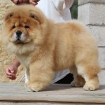 hembra 2 - Cachorro en venta de Chows of the Island