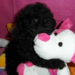 Cumbia de My Loving Puppies - Cachorro en venta de My Loving Puppies