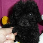 Rumba de My Loving Puppies - Cachorro en venta de My Loving Puppies