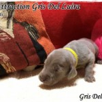 Main Attraction - Cachorro en venta de Gris del Luira