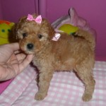 Cachorro de Caniche Toy: Sweet Peach de My Loving Puppies