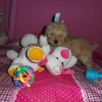 Welcome de My Loving Puppies - Cachorro en venta de My Loving Puppies