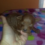 Wendy de My Loving Puppies - Cachorro en venta de My Loving Puppies