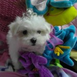 Pretty Woman de My Loving Puppies - Cachorro en venta de My Loving Puppies