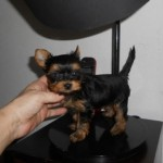 Cachorro de Yorkshire Terrier: Miss del Real Valle de Camargo