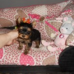 Cachorro de Yorkshire Terrier: Dandy del Real Valle de Camargo