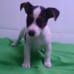 Cachorro de Jack Russell Terrier: JACK RUSSELL 79 - Aquanatura (Barcelona)