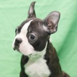 BOSTON TERRIER 27 - Aquanatura (Barcelona) - Cachorro en venta de AQUANATURA