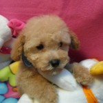 Cachorro de Caniche Toy: Miguelico de My Loving Puppies