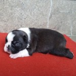 Pontiac - Cachorro en venta de Baron de Verona / Royal Avalon - Boston Terrier y Bóxer