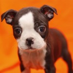 BOSTON TERRIER 30 - Aquanatura (Barcelona) - Cachorro en venta de AQUANATURA