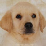Helvet Can Aristotles - Cachorro en venta de Labrador Retriever de Helvet Can
