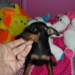 Zorín de My Loving Puppies - Cachorro en venta de My Loving Puppies
