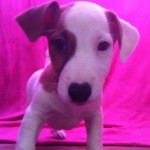 Cachorro de Jack Russell Terrier: JACK RUSSELL 74 - Aquanatura (Barcelona)