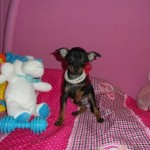 Zlata de My Loving Puppies - Cachorro en venta de My Loving Puppies