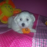 Cariñito de My Loving Puppies - Cachorro en venta de My Loving Puppies