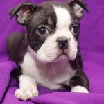 BOSTON TERRIER 28 - Aquanatura (Barcelona) - Cachorro en venta de AQUANATURA