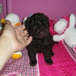 Nesquik de My Loving Puppies - Cachorro en venta de My Loving Puppies
