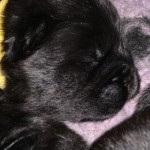 Hembra negra - Cachorro en venta de M&Z SHADOWS OF THE DYNASTY