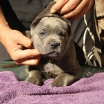 Esquimal - Cachorro en venta de Ariston Call of Duty